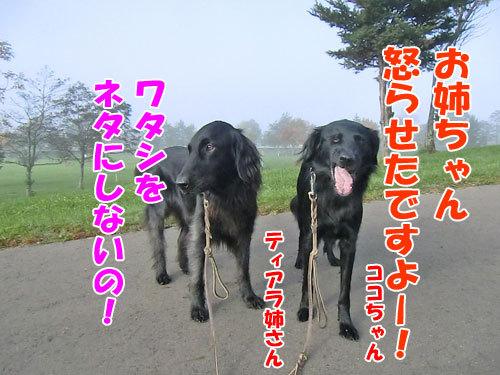 チャンスとティアラ+ココ-20121029-6-500.jpg