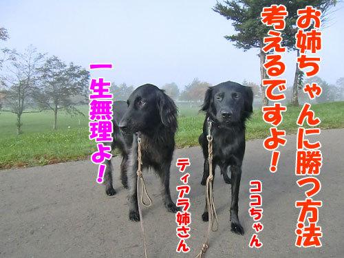 チャンスとティアラ+ココ-20121029-7-500.jpg