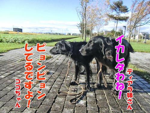 チャンスとティアラ+ココ-20121030-3-500.jpg