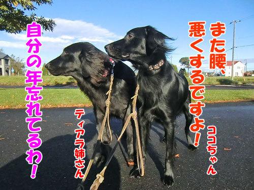 チャンスとティアラ+ココ-20121030-5-500.jpg