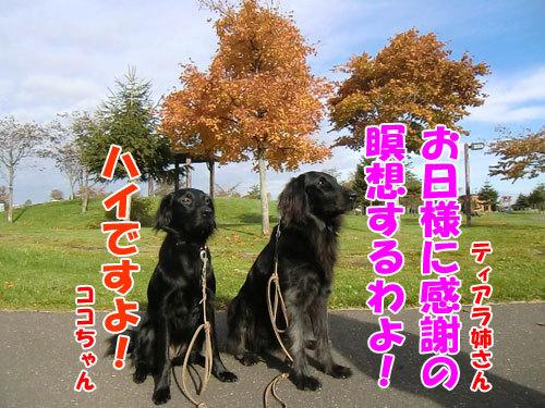チャンスとティアラ+ココ-20121031-1-500.jpg