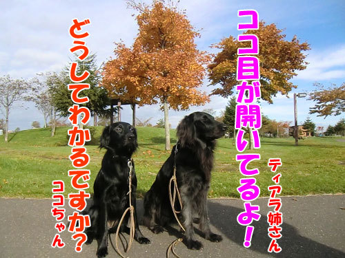 チャンスとティアラ+ココ-20121031-2-500.jpg