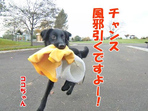 チャンスとティアラ+ココ-20121031-5-500.jpg