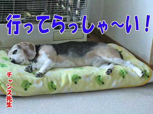 チャンスとティアラ+ココ-20121121-1-500.jpg