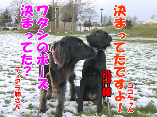 チャンスとティアラ+ココ-20121121-3-500.jpg