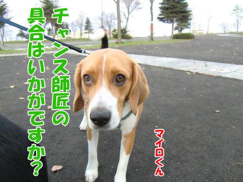 チャンスとティアラ+ココ-20121121-5-500.jpg