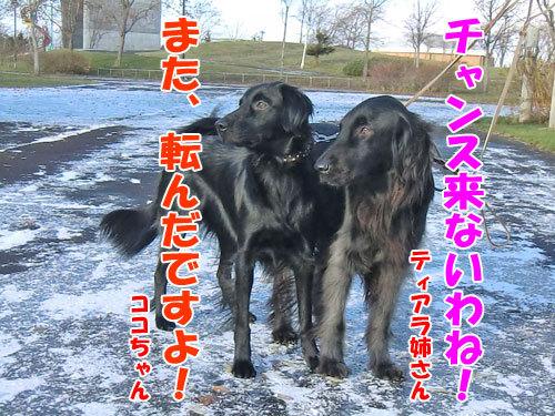 チャンスとティアラ+ココ-20121122-1-500.jpg