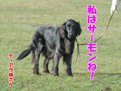 チャンスとティアラ+ココ-20121122-3-500.jpg