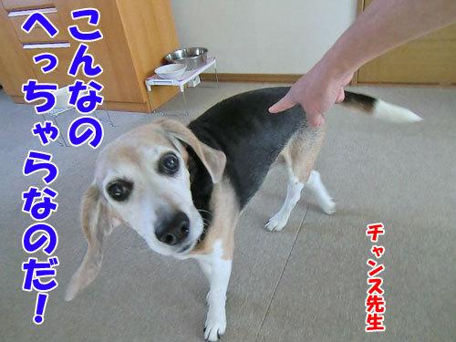 チャンスとティアラ+ココ-20121122-6-500.jpg