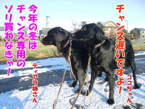 チャンスとティアラ+ココ-20121123-4-500.jpg