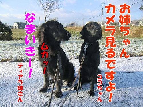 チャンスとティアラ+ココ-20121123-5-500.jpg