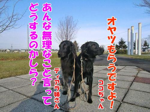 チャンスとティアラ+ココ-20121124-4-500.jpg