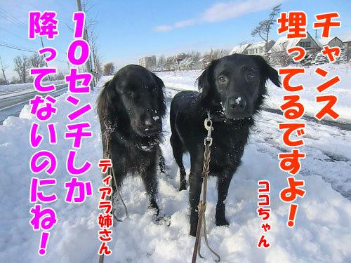 チャンスとティアラ+ココ-20121125-5-500.jpg