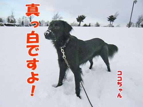 チャンスとティアラ+ココ-20121126-1-500.jpg