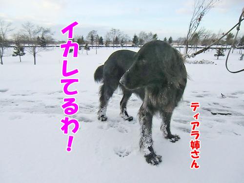 チャンスとティアラ+ココ-20121126-3-500.jpg