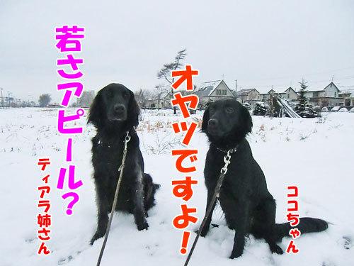 チャンスとティアラ+ココ-20121127-4-500.jpg