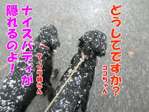 チャンスとティアラ+ココ-20121128-2-500.jpg