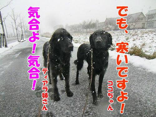 チャンスとティアラ+ココ-20121128-3-500.jpg