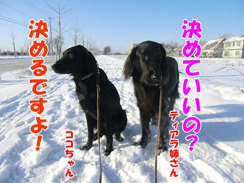 チャンスとティアラ+ココ-20121129-1-500.jpg