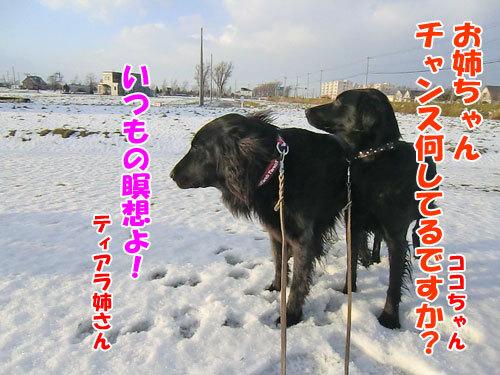 チャンスとティアラ+ココ-20121130-1-500.jpg