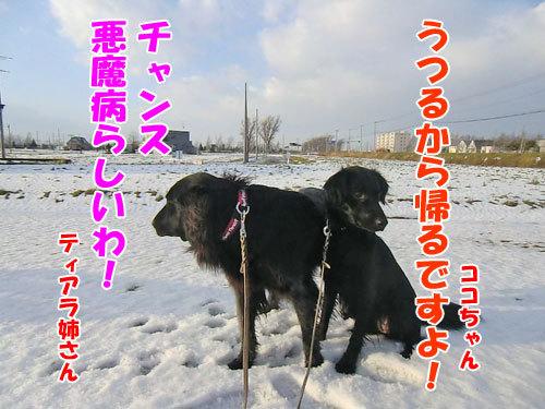 チャンスとティアラ+ココ-20121130-2-500.jpg