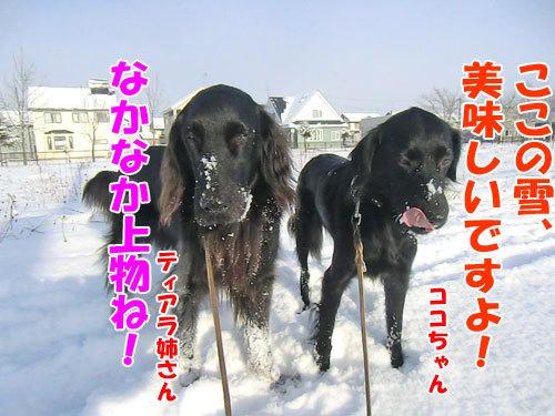 チャンスとティアラ+ココ-20121202-1-500.jpg