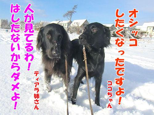 チャンスとティアラ+ココ-20121202-3-500.jpg