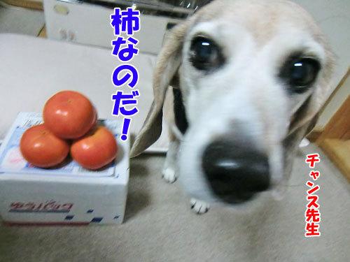 チャンスとティアラ+ココ-20121207チャンス柿-500.jpg