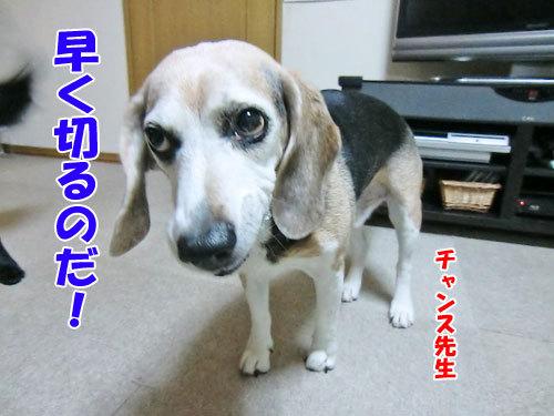 チャンスとティアラ+ココ-20121207-2-500.jpg