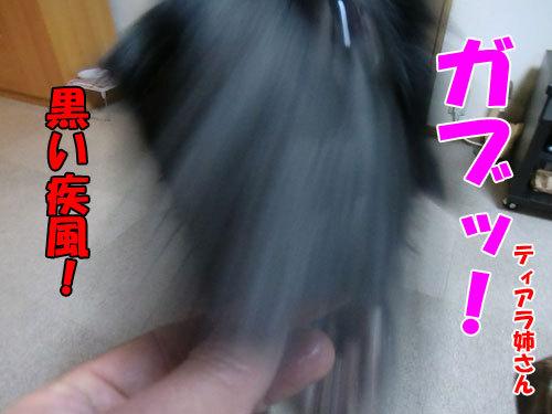 チャンスとティアラ+ココ-20121207-6-500.jpg