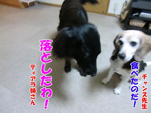 チャンスとティアラ+ココ-20121207-7-500.jpg