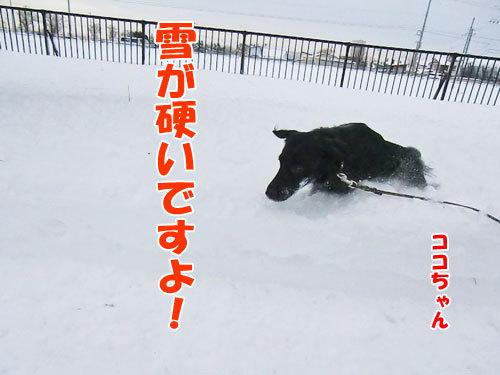 チャンスとティアラ+ココ-20121210-1-500.jpg