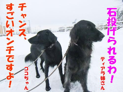 チャンスとティアラ+ココ-20121210-7-500.jpg