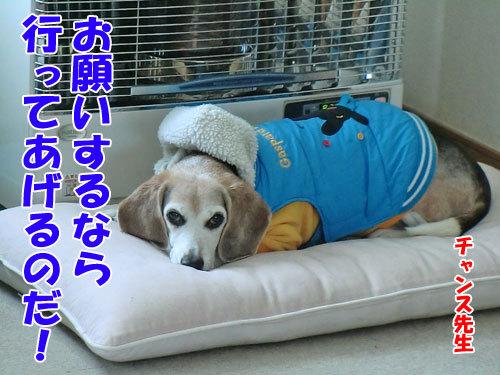 チャンスとティアラ+ココ-20121211-1-500.jpg