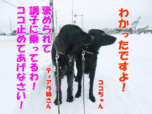 チャンスとティアラ+ココ-20121211-7-500.jpg