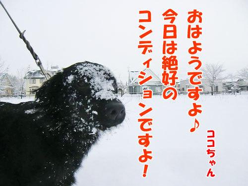 チャンスとティアラ+ココ-20121213-1-500.jpg