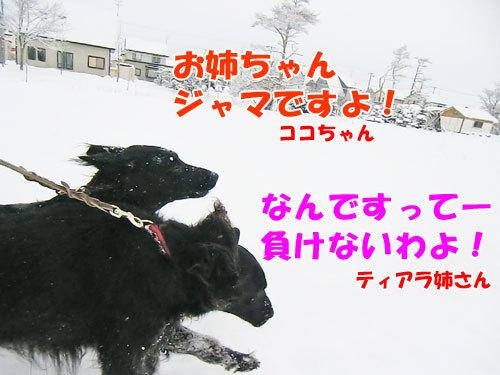 チャンスとティアラ+ココ-20121213-3-500.jpg