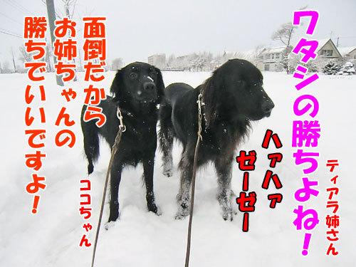チャンスとティアラ+ココ-20121213-4-500.jpg