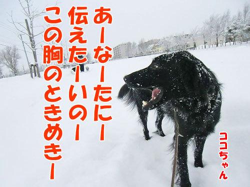 チャンスとティアラ+ココ-20121214-4-500.jpg