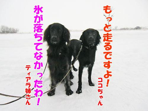 チャンスとティアラ+ココ-20121215-7-500.jpg