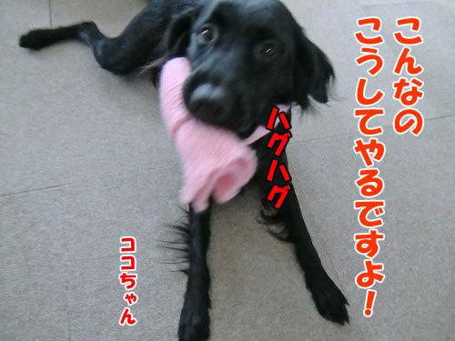チャンスとティアラ+ココ-20121216-4-500.jpg
