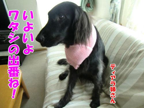 チャンスとティアラ+ココ-20121216-6-500.jpg