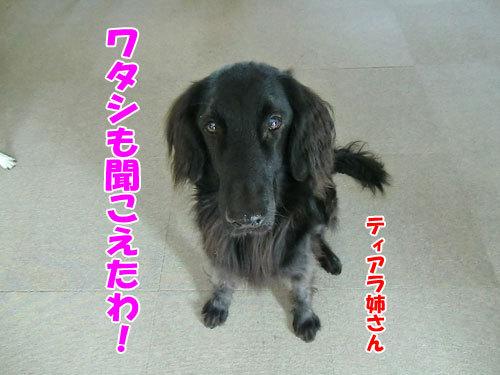 チャンスとティアラ+ココ-20121217-6-500.jpg