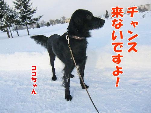 チャンスとティアラ+ココ-20121218-3-500.jpg