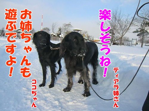 チャンスとティアラ+ココ-20121218-7-500.jpg
