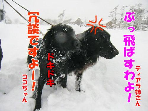 チャンスとティアラ+ココ-20121219-7-500.jpg