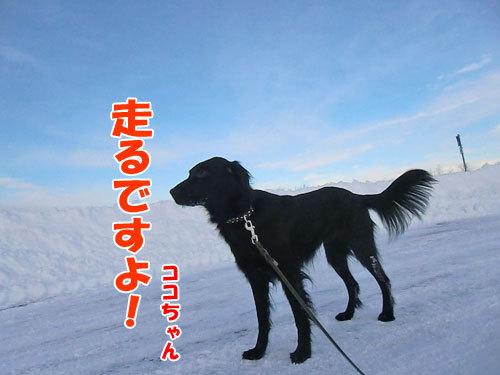 チャンスとティアラ+ココ-20121220-1-500.jpg