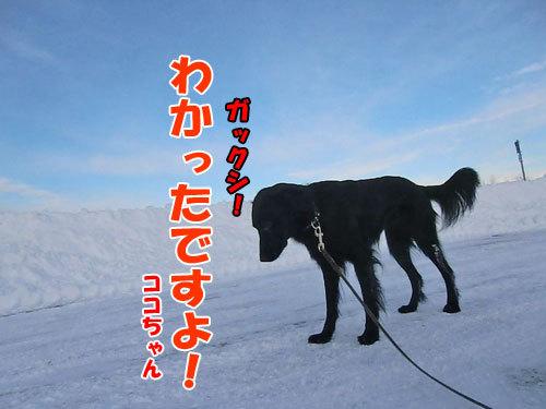 チャンスとティアラ+ココ-20121220-2-500.jpg