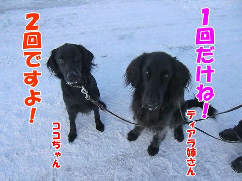 チャンスとティアラ+ココ-20121220-3-500.jpg