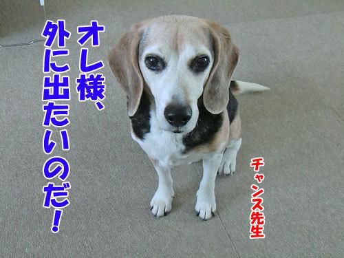 チャンスとティアラ+ココ-20121220-4-500.jpg